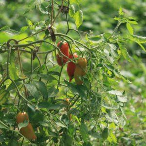 Tomates (Différentes variétés)